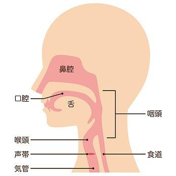 咽頭の役割とは?